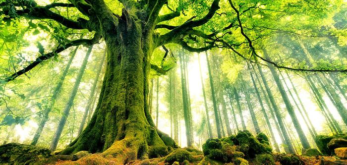 Mơ thấy cây cổ thụ